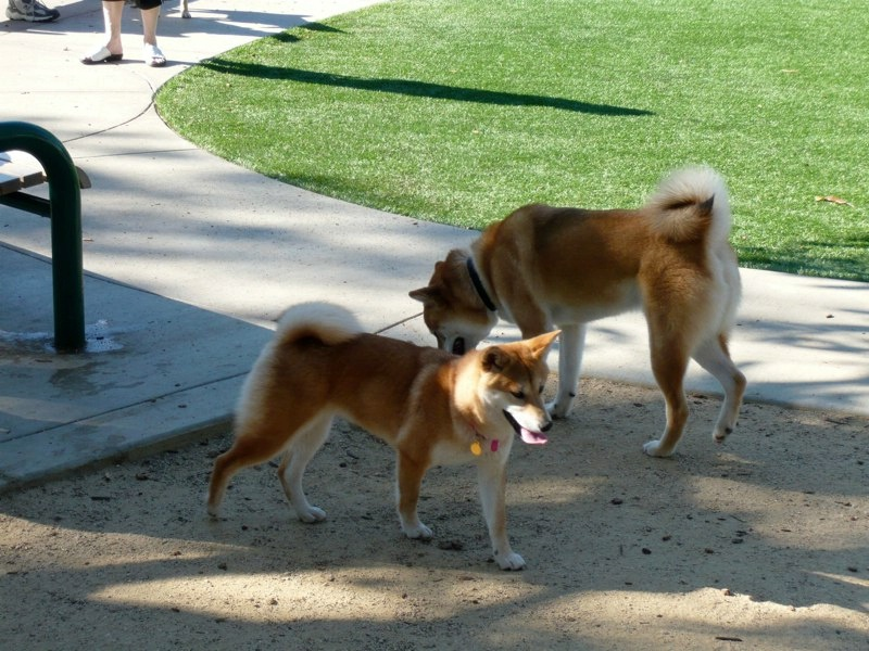 Shiba Inu Dogs at the Dog Park
